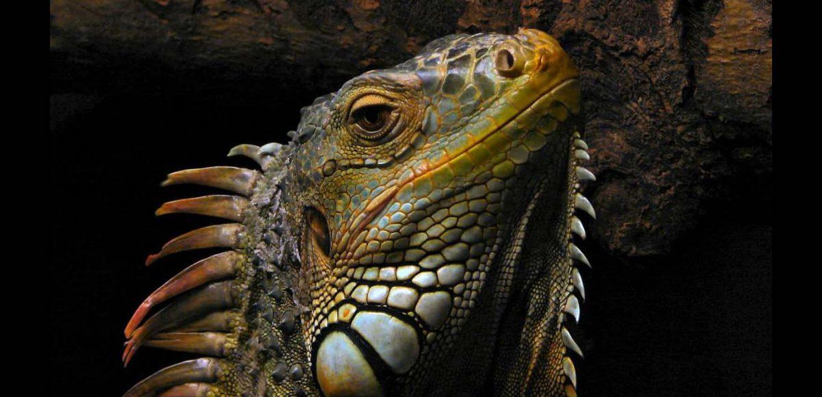 Hemingway hunts iguana