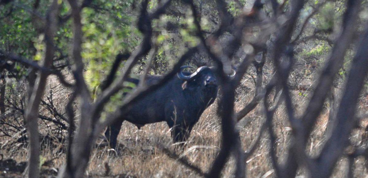 Cape Buffalo Hunting