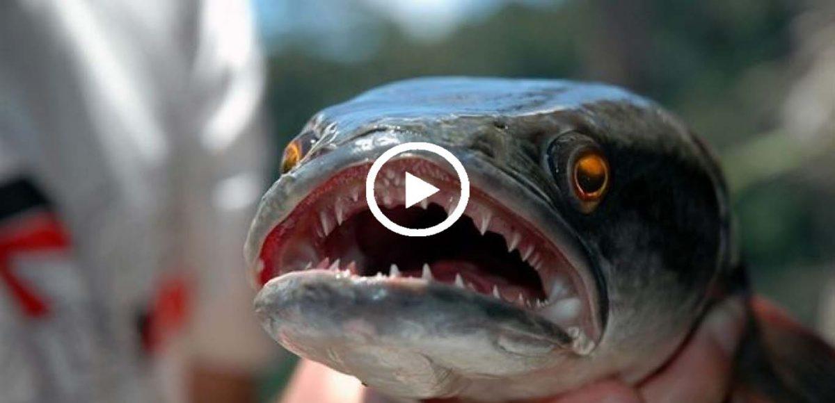 """Résultat de recherche d'images pour """"snakehead-fish"""""""